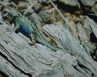 : Sceloporus occidentalis; Western Fence Lizard