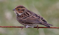 Little Bunting Photograph by Mark Breaks
