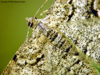 Alcis repandata - Mottled Beauty