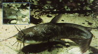 Ameiurus nebulosus, Brown bullhead: fisheries, aquaculture, gamefish