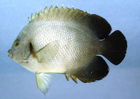 Centropyge vrolikii, Pearlscale angelfish: fisheries, aquarium