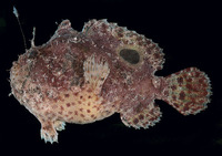 Antennarius rosaceus, Spiny-tufted frogfish: fisheries