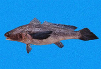 Paralonchurus petersii, Peters' banded croaker: fisheries