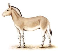 Image of: Equus asinus (ass)