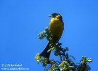 Emberiza melanocephala - Black-headed Bunting