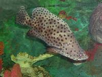 Image of: Cromileptes altivelis (humpback grouper)