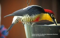 Yellow-fronted Woodpecker - Melanerpes flavifrons