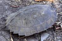 Asian leaf turtle