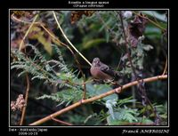 Uragus sibiricus Long-tailed Rosefinch