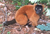 photograph of a red ruffed lemur