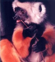 photograph of a sifaka having a snack