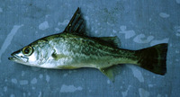 Lates microlepis, Forktail lates: fisheries, gamefish