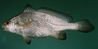 Johnius belangerii, Belanger's croaker: fisheries