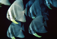 Platax teira, Tiera batfish: fisheries, gamefish, aquarium