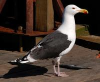 Image of: Larus marinus (great black-backed gull)