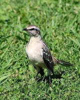 Image of: Mimus saturninus (chalk-browed mockingbird)
