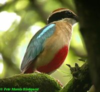 Fairy Pitta - Pitta nympha