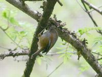 Brown-throated Fulvetta - Alcippe ludlowi