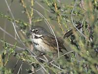 Bell's (Sage) Sparrow (Amphispiza belli) photo
