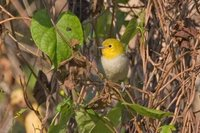 Yellow-headed Warbler - Teretistris fernandinae