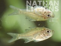 : Ambassis agassizii; Olive Chanda Perch