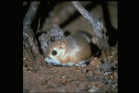 : Dipodomys merriami; Merriam's Kangaroo Rat
