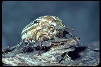 : Polyphylla decimlineata; Ten-lined June Beetle