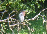 Green Heron - adult