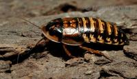 Blaptica dubia - Guyana Orange Spotted Roach