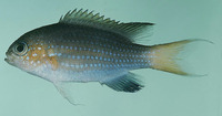 Chromis nigrura, Blacktail chromis: