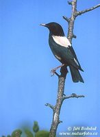 Sturnus roseus - Rose-coloured Starling