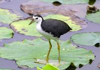 Image of: Amaurornis phoenicurus (white-breasted waterhen)