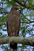 Image of: Spilornis cheela (crested serpent-eagle)