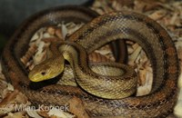 Pantherophis obsoletus quadrivittata - Yellow Rat Snake