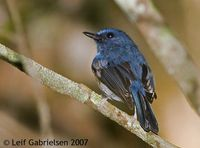 Blue-breasted Flycatcher - Cyornis herioti
