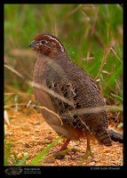 Jungle Bush-Quail - Perdicula asiatica