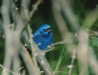 Blue Bunting (Cyanocompsa parellina) photo