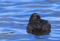 New Zealand Scaup (Aythya novaeseelandiae) photo