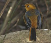 Red-capped Robin-Chat - Cossypha natalensis