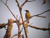 Plain-throated Sunbird - Anthreptes malacensis