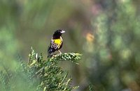Yellow Bishop - Euplectes capensis