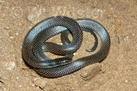 : Micrelaps boettgeri; Desert Black-headed Snake