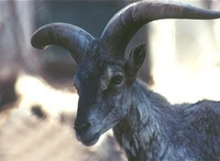 나와(岩羊)- 티벳푸른양 Bharal/Blue Sheep (Pseudois nayaur)