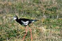Black–pied stilt hybrid