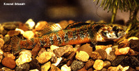 Etheostoma exile, Iowa darter: