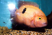 Hypselecara temporalis, Emerald cichlid: fisheries, aquarium