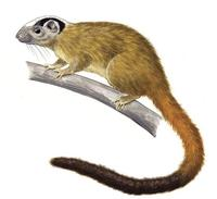 Image of: Isothrix bistriata (yellow-crowned brush-tailed rat)