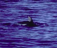 Image of: Lagenorhynchus obliquidens (Pacific white-sided dolphin)