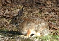 Image of: Sylvilagus floridanus (eastern cottontail)