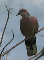 Spotted Dove - Streptopelia chinensis